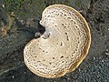 Dryad's Saddle (Polyporus squamosus) (5254056959).jpg