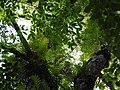 Drynaria quercifolia-2-kallar-meenmudii-kerala-India.jpg