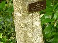 Drypetes roxburghii at Queen Sirikit Botanic Garden - Chiang Mai 2013 2694.jpg