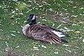 Ducks (40137229141).jpg