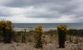 Dune du Perroquet Jacobaea vulgaris (2).png
