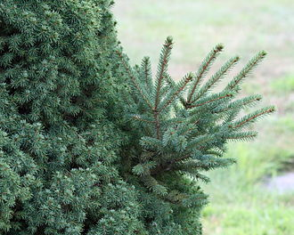 Sport (botany) - Foliage of a dwarf Alberta spruce (Picea glauca var. albertiana 'Conica'), with a branch showing reversion to the normal Alberta white spruce growth habit of larger leaves and longer internodes.