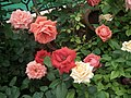 Dwarf Rose from Lalbagh flower show Aug 2013 8505.JPG