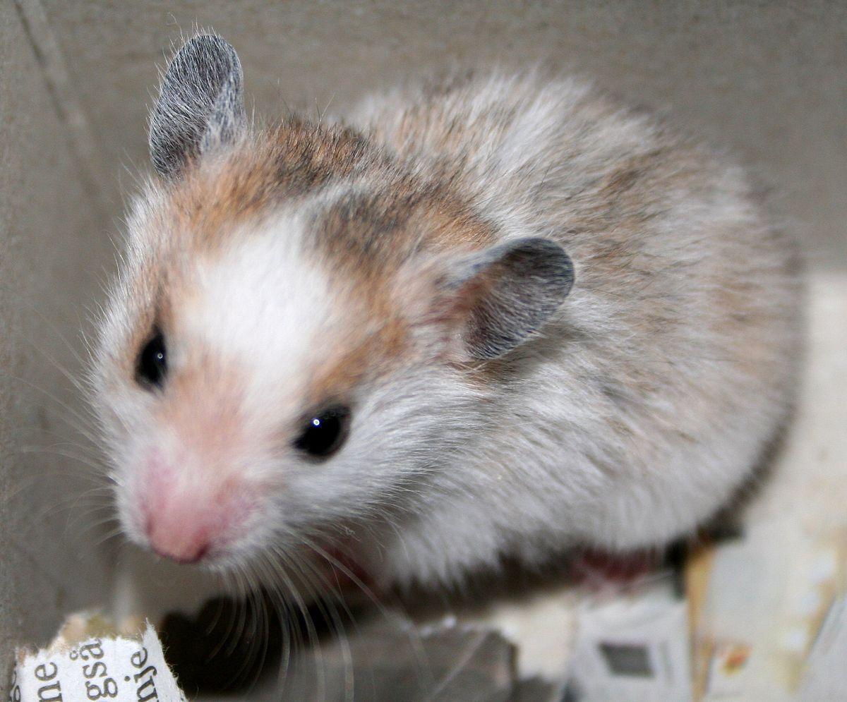 Hamster Wikipedia Bahasa Indonesia Ensiklopedia Bebas