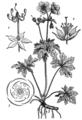 EB1911 Geraniaceae.png