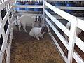 EXPOINTER 2013 15 Goat.JPG