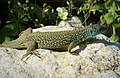 Eastern Green Lizard (Lacerta viridis) (45292940311).jpg