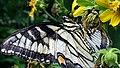 Eastern Tiger Swallowtail butterfly Eno River Hillsborough NC 115504-01 (30857340411).jpg