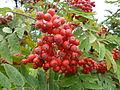 Ebereschen-Früchte.JPG
