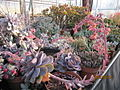 Echeveria lilacina and other succulents (4509109070).jpg