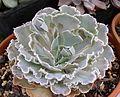 Echeveria shaviana E285 190507 1.jpg