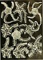 Echinodermata Ophiuroidea (1922) (20515091274).jpg
