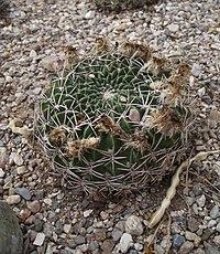 Echinopsis cinnabarina.jpg