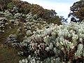 Edelweis Bunga Keabadian.jpg