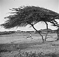 Een dividivi- of watapana-boom op Aruba, Bestanddeelnr 252-7970.jpg
