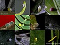 Eggs of butterflies from westernghats (5079956042).jpg