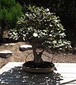 Elaeagnus commutata bonsai.jpg