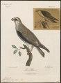 Elanus melanopterus - 1796-1808 - Print - Iconographia Zoologica - Special Collections University of Amsterdam - UBA01 IZ18200370.tif