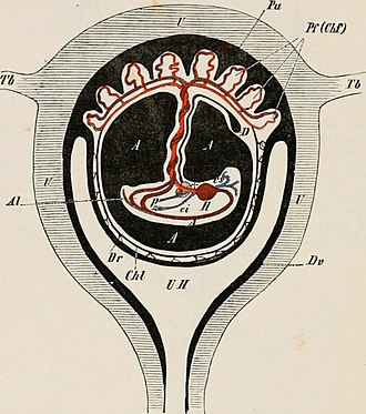 Viviparity - Hemotrophic viviparity: a mammal embryo (centre) attached by its umbilical cord to a placenta (top) which provides food
