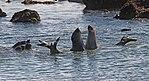 Elephant Seals 4 (14956347904).jpg