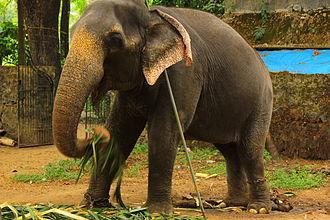 Punnathurkotta - Elephants chained at punnathor kotta
