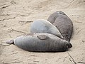 Elephant seals at Ano Nuevo (91556).jpg