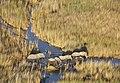 Elephants crossing (41817295680).jpg