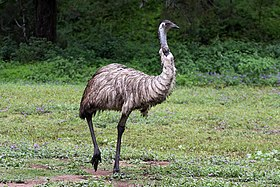 Emu in the wild-1+ (2153629669).jpg