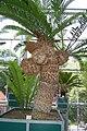 Encephalartos altensteinii 011.JPG