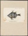 Enoplosus armatus - 1790 - Print - Iconographia Zoologica - Special Collections University of Amsterdam - UBA01 IZ12900126.tif