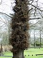 Epicormic growth - excessive - on oak. Duff House, Moray.JPG