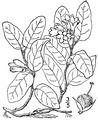 Epigaea repens L. Trailing arbutus.tiff