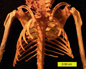 Rib - Ribcage of Eptesicus fuscus (Big Brown Bat)