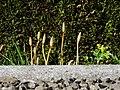 Equisetum arvense 126673498.jpg