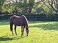 Equus caballus - 021.jpg