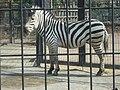 Equus quagga boehmi in Hamura zoo 20070321.jpg