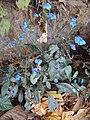 Eranthemum capense at Nedumpoil (4).jpg