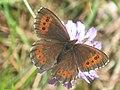 Erebia ligea - Arran brown - Чернушка кофейная (41121321242).jpg