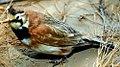 Eremophila alpestris 4zz.jpg