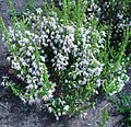 Erica glomiflora bush.JPG