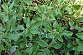 Eriogonum flavum kz01.jpg