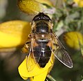 Eristalis pertinax (female) dorsal view - Flickr - S. Rae.jpg