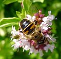 Eristalis sp. - Flickr - gailhampshire (5).jpg