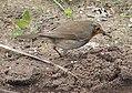 Erithacus rubecula with earthworm, Roodborstje met regenworm (2).jpg