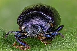 Escarabajo (Chrysolina sturmi), Hartelholz, Múnich, Alemania, 2020-06-28, DD 574-602 FS.jpg