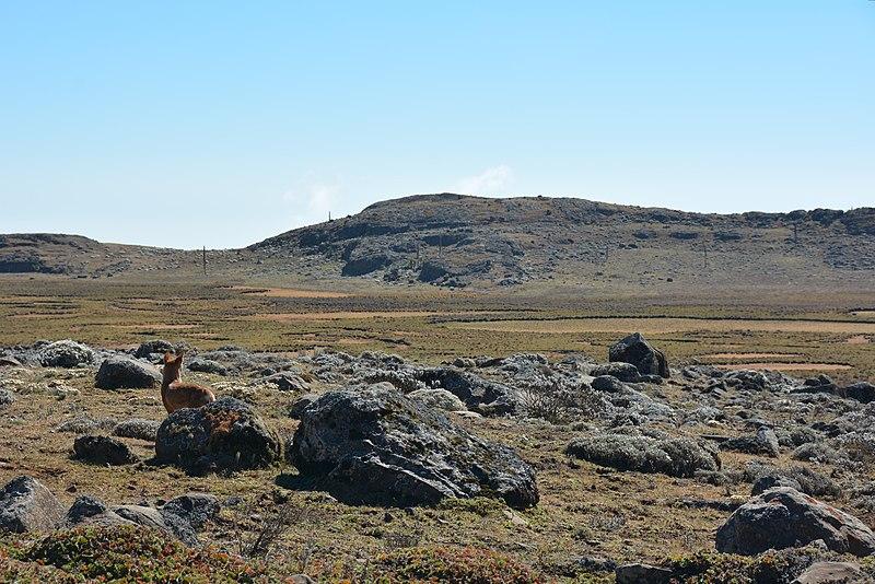 File:Ethiopian Wolf (16154380519).jpg