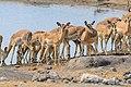 Etosha National Park, Namibia (17215110341).jpg