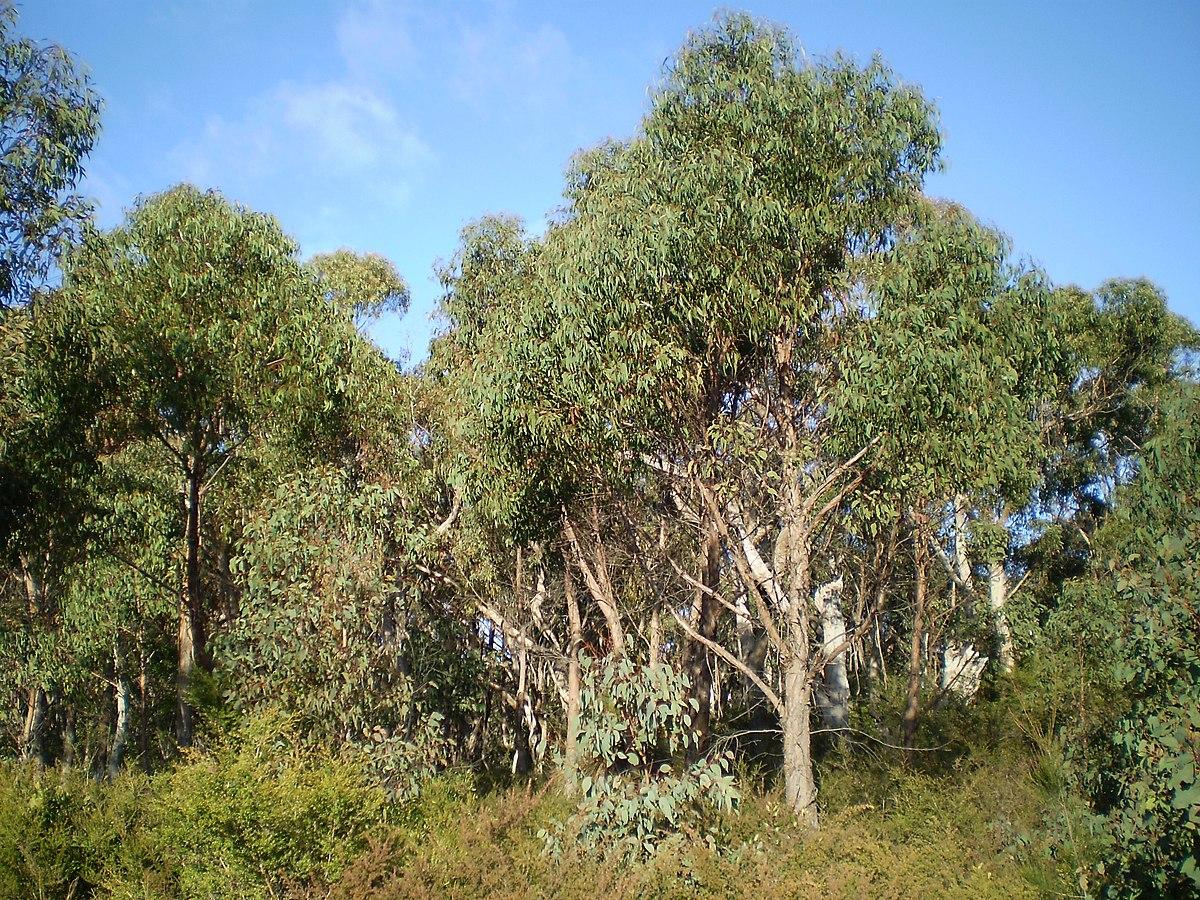 eucalyptus olida wikipedia. Black Bedroom Furniture Sets. Home Design Ideas