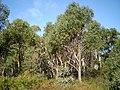 Eucalyptus olida woodland1.JPG