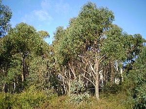 Eucalyptus olida - Image: Eucalyptus olida woodland 1